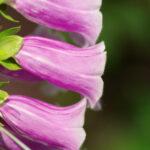 47554801 - foxglove, purple bell flower